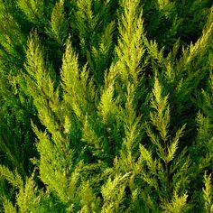 8 Surprising Benefits of Cypress Essential Oil Cypress Oil, Cypress Essential Oil, Organic Essential Oils, Essential Oil Uses, Homemade Deodorant, Natural Deodorant, Young Living Oils, Young Living Essential Oils, Citrus Oil
