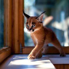 Het is officieel: we hebben het schattigste kattenras op aarde gevonden. Laat ons je voorstellen aan de caracal. Of beter gezegd: de baby caracal. Vanwege de scha...