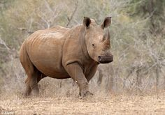 Conservation experts say 558 rhinos have been killed in Kruger so far this year, with an e...