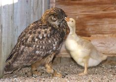 Every year, Gandolf the owl would lay an egg and wait for it to hatch, but it never would. One day, she was given a goose egg, and it was a perfect match. Most owls would immediately kill any newborn that did not look, smell, or feel like their own species, but Gandolf did not. She cared for the baby goose as if it was her own.