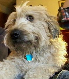 Sweetest dog in the world Rescue Puppies, Dogs And Puppies, Doggies, Wheaten Terrier Mix, Hypoallergenic Dog Breed, Small Dog Coats, Irish Terrier, Dog Rules, Dog Jacket