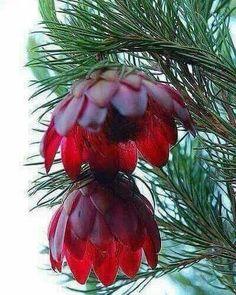 Çam ağacı 100 yılda bir kere böyle çiçek açar..