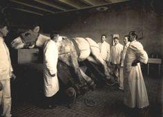 Veterinary school and hospital, interior; surgeons and students in horse operating area; 1908;