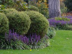 Liriope muscari Royal Purple - Royal Purple Liriope - 18 Count Flats - 4 Pots - Liriope - Lily Turf / Monkey Grass