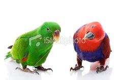 Solomon Island Eclectus Parrots Royalty Free Stock Photo