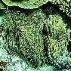 #ladyelliotisland #australia #australiagram #qld #frasercoast #greatbarrierreef #seeaustralia #southerngreatbarrierreef #Snorkel #fish #anenome #anenomefish #goprohero4silver #goproanz #gopro #knektaus #oceanlover by neetsferg http://ift.tt/1UokkV2