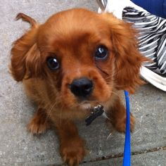 Ruby Cavalier King Charles Spaniel puppy...One of my favorite breeds...I have a tri-color Cavalier King Charles Spaniel...Love her <3!!