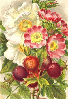 ROSES Rosa Moschata Rosa Pomifera antique print 1903