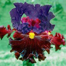Naughty Nights Bearded Iris