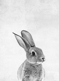 Fotografie Hase, schwarz / weiß
