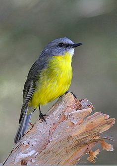 Eastern Yellow Robin (Eopsaltria australis). An Australian robin species; none of which are related to either the European or American robin. photo: Leo.