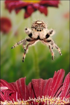 """Regal Jumping Spider doing what it does best. jumping."""