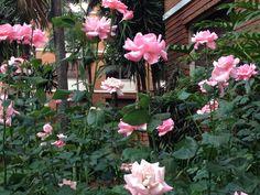 Rosas de um jardim da Av Angelica