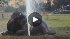 Rescapée d'un passé douloureux, l'éléphant Faa Sai vit désormais une vie paisible au sein de l'Elephant Nature Park,...