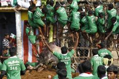 Babu/Reuters UNDER FOOT: Villagers were pinned down by a bull as others climbed a fence to protect themselves at a bull-taming festival on the outskirts of Madurai town, India, Wednesday.