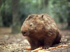 Wombats are quite stubborn, and if a person reached for a clump of grass at the same time as a wombat did, he would find his hand or arm the victim of a strong wombat bite.  I'm not sure if they have poison in thier mouths, but I am guessing yes.