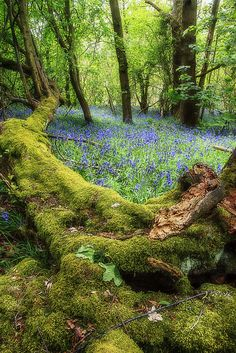 Bluebell time - Burroughs wood
