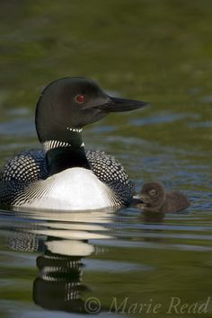 Loons, it isn't a great camping trip until you fall asleep to the sound of their call.