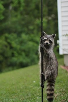 The first raccoon to set up a pole dancing school.