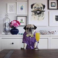Rocco The Pug Bartender ! Cute Pet!