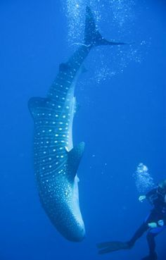 Scuba diving with whale sharks in Belize #adventure