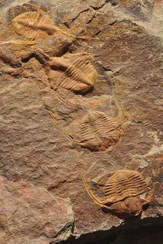 (Morocco) Ampyx priscus plate