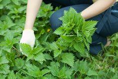 La ortiga: una hierba en el jardín, grandes beneficios en la salud - Notas - La Bioguía