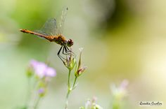 Dragonfly 3 by Quentin CUVELIER on 500px
