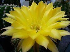"""Schick Echinopsis Hybride Kindel """" Gold Emblem  """""""
