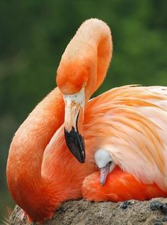 Amazing wildlife - Flamingo and baby Kinds Of Birds, All Birds, Love Birds, Pretty Birds, Beautiful Birds, Animals Beautiful, Beautiful Babies, Beautiful Pictures, Animals And Pets