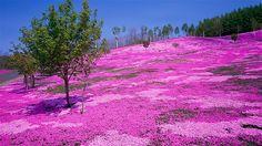 Image: Moss phlox in bloom in Takinoue Park, Hokkaido, Japan (© JTB Media Creation, Inc./Alamy)