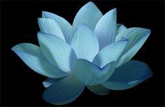 Flower / Blue flower / Lotus Flower / water / lily / water lily / / Blue / nature / - IMG_0606 - Nelumbo Nucifera - , ハスの花, 莲花, گل لوتوس, Fleur de Lotus, Lotosblume, कुंद, 연꽃,