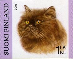 Chocolate Persian (Felis silvestris catus)