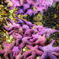 Photograph by @paulnicklen taken while on assignment for @natgeo with @cristinamittermeier in #BC Canada. What a thrill it was today to find a mostly healthy pocket of ochre stars. From  the far reaches of Alaska to the waters of Southern California Sea Star Wasting Syndrome has devastated the populations of many species of Sea Stars.  One of the most iconic inhabitants of the nearshore Pisaster ochraceus or the Ochre star has long been known not only as a Keystone Species necessary for…