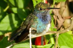 Foto beija-flor-de-peito-azul (Amazilia lactea) por Antonio Cruz | Wiki Aves - A Enciclopédia das Aves do Brasil