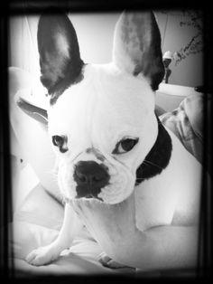 #FrenchBulldog ♥