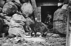 A French soldier feeds a cat in the trenches