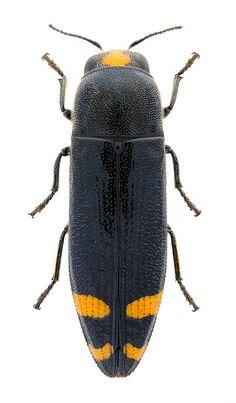 Ptosima chinensis - BUPRESTIDAE