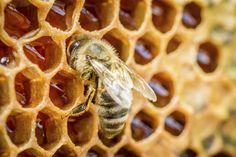 Miel, polen, jalea real,propóleos, cera e incluso veneno de abeja encuentran hoy en día su sitio en la terapia natural. Hoy queremos contarte los beneficios de estos productos procedentes de la