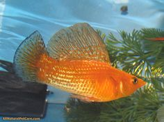 Sailfin Molly fish with 'sail' raised -- so many kinds and colors of mollies are available.