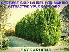 Skip Laurel is the best laurel species of plant. It has the ability to make adorn your garden or backyard. With its presence, they tempt all. If you are thinking about making garden then you can apply Skip Laurel plants for raising your garden beauty and make it attractive.