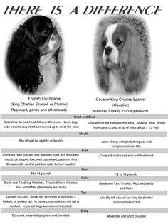 English Toy Spaniel and Cavalier King Charles Spaniel