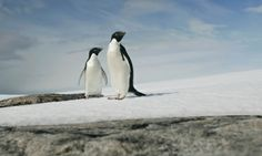 Adelie penguins in east Antarctica. Although most melting of continent's ice is happening in the west, even the east is now shedding ice