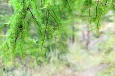 Spring in Forest by Elena Riim.  Green pine branches with bokeh.