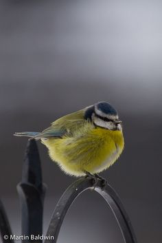 ball of blue tit
