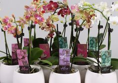 Mini Phalaenopsis Orchids of Alice Adventures