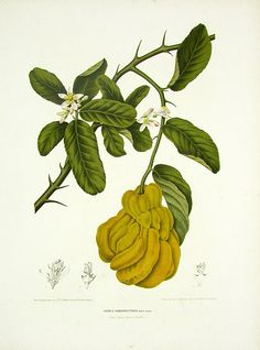 Berthe Hoola van Nooten Tropical Prints 1863 MANO DE BUDA