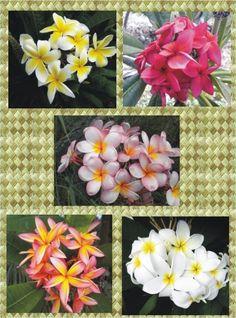 Plumeria from Hawaii.