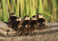 Wood duck chicks from Colusa Refuge in California