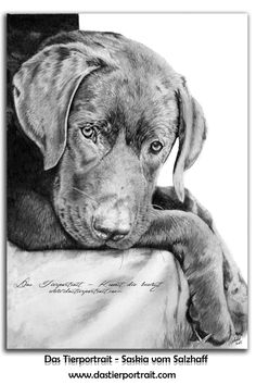 Labrador portrait in graphit, 8.3 x 11.7 inch - Auftragsmalerei / Commissioned painting: https://www.facebook.com/studio.dastierportrait www.dastierportrait.com